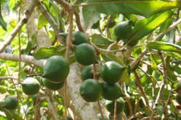 El aceite de macadamia: 100% de hidratación cutánea para todo tipo de pieles